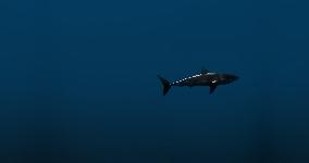 shark deep water
