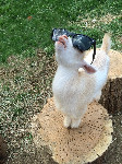 goat on log