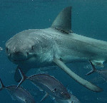 shark look at you